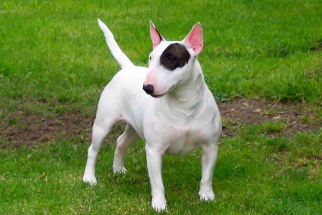 Houston Bull Terrier Rescue