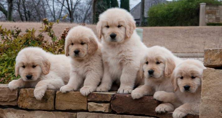 Houston Golden Retriever Puppies