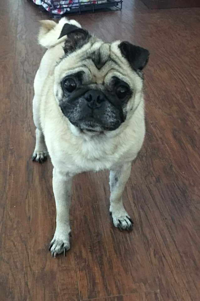 Houston Pug Rescue