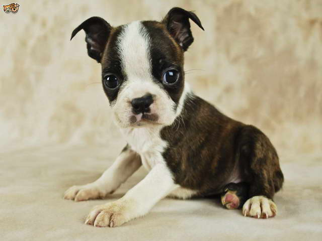 How Many Puppies Can A Boston Terrier Have
