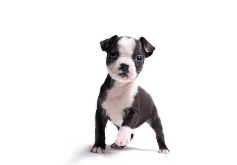 How Much Are Boston Terrier Puppies
