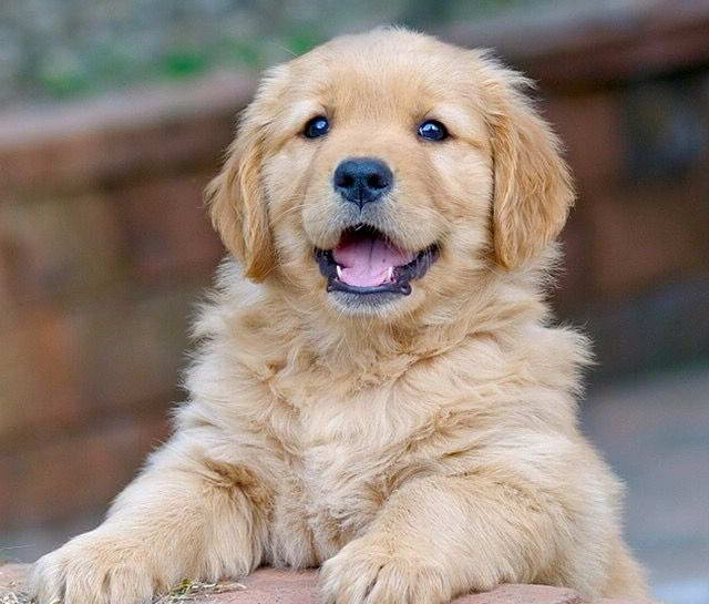 How Much Are Golden Retriever Puppies