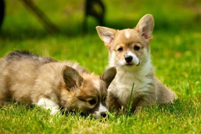 How Much Is A Corgi Puppy