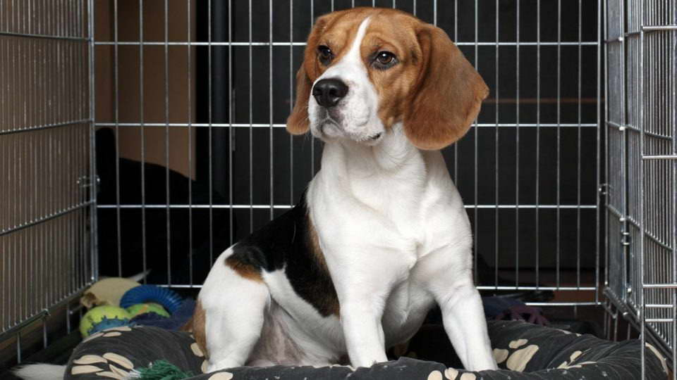 How To Crate Train A Beagle