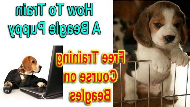 How To House Train A Beagle