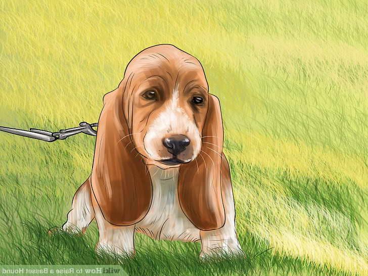 How To Potty Train A Basset Hound