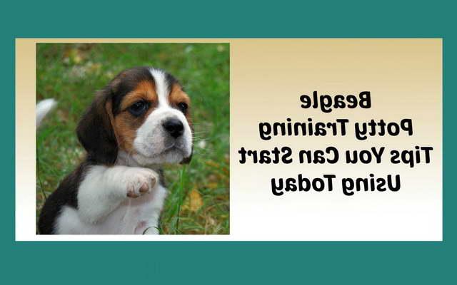 How To Potty Train A Beagle Pup