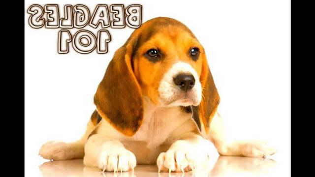 How To Raise A Beagle