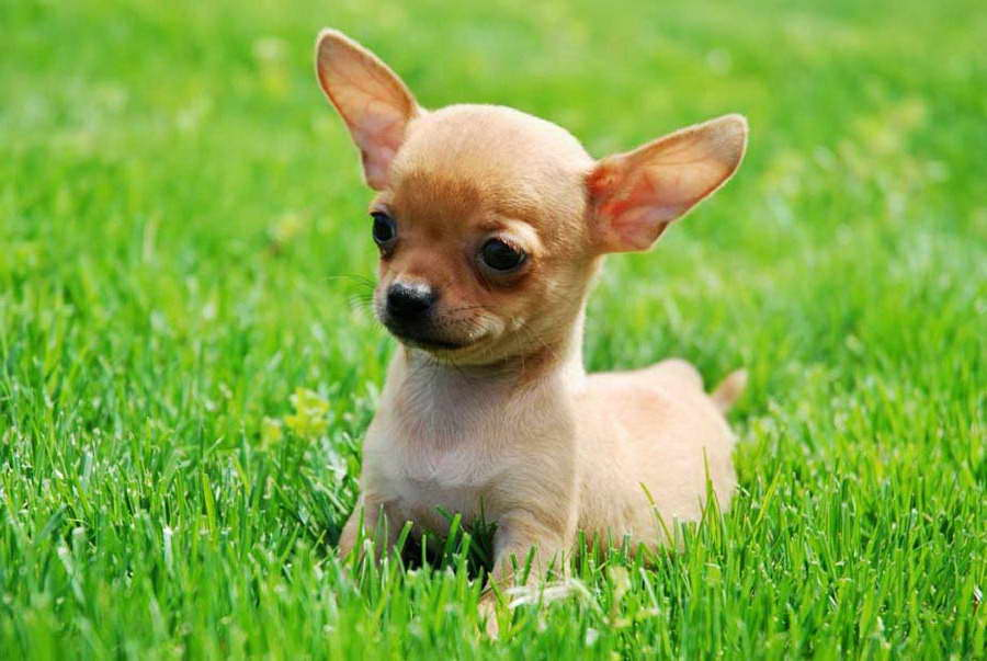 How To Take Care Of Chihuahua Puppies