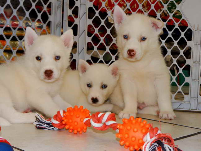 Husky Dogs For Sale Craigslist   Pets and Dogs