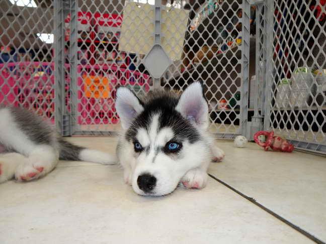 Husky For Sale In Az