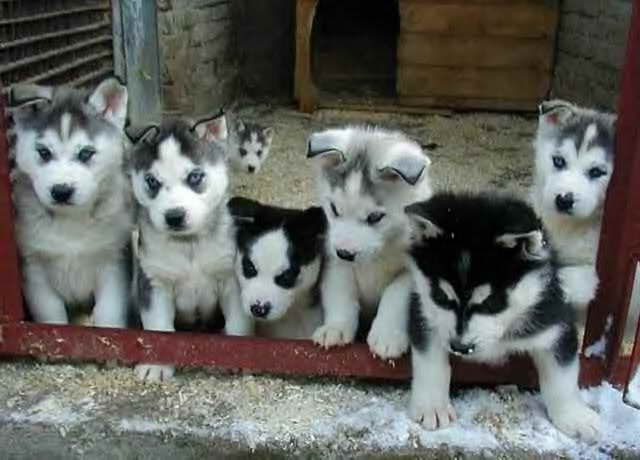 Husky For Sale In Indiana