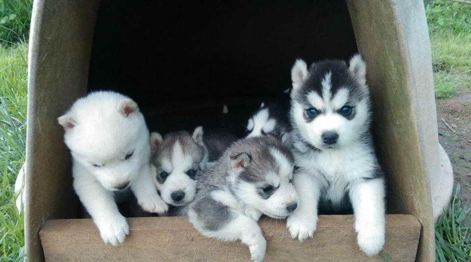 Husky For Sale In Oregon