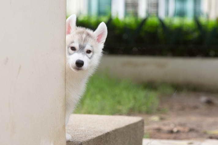 Husky Obedience Training