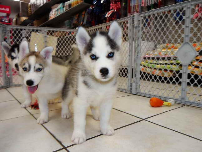 Husky Puppies For Adoption Near Me Petsidi