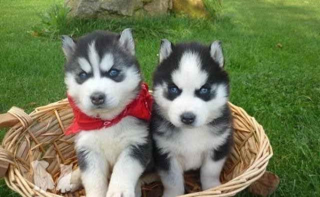 Husky Puppies For Sale Houston   PETSIDI