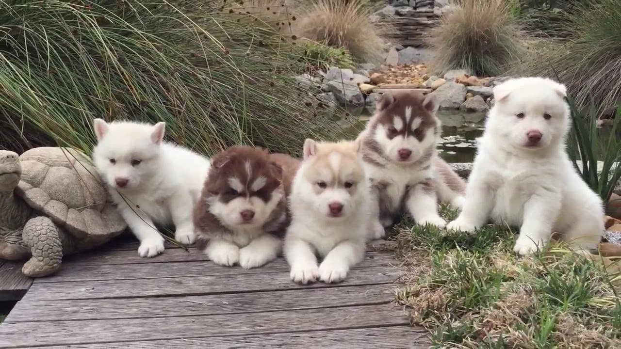 Husky Puppies For Sale Oahu | PETSIDI