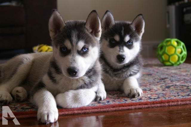 Husky Puppies For Sale San Antonio – Pets and Dogs