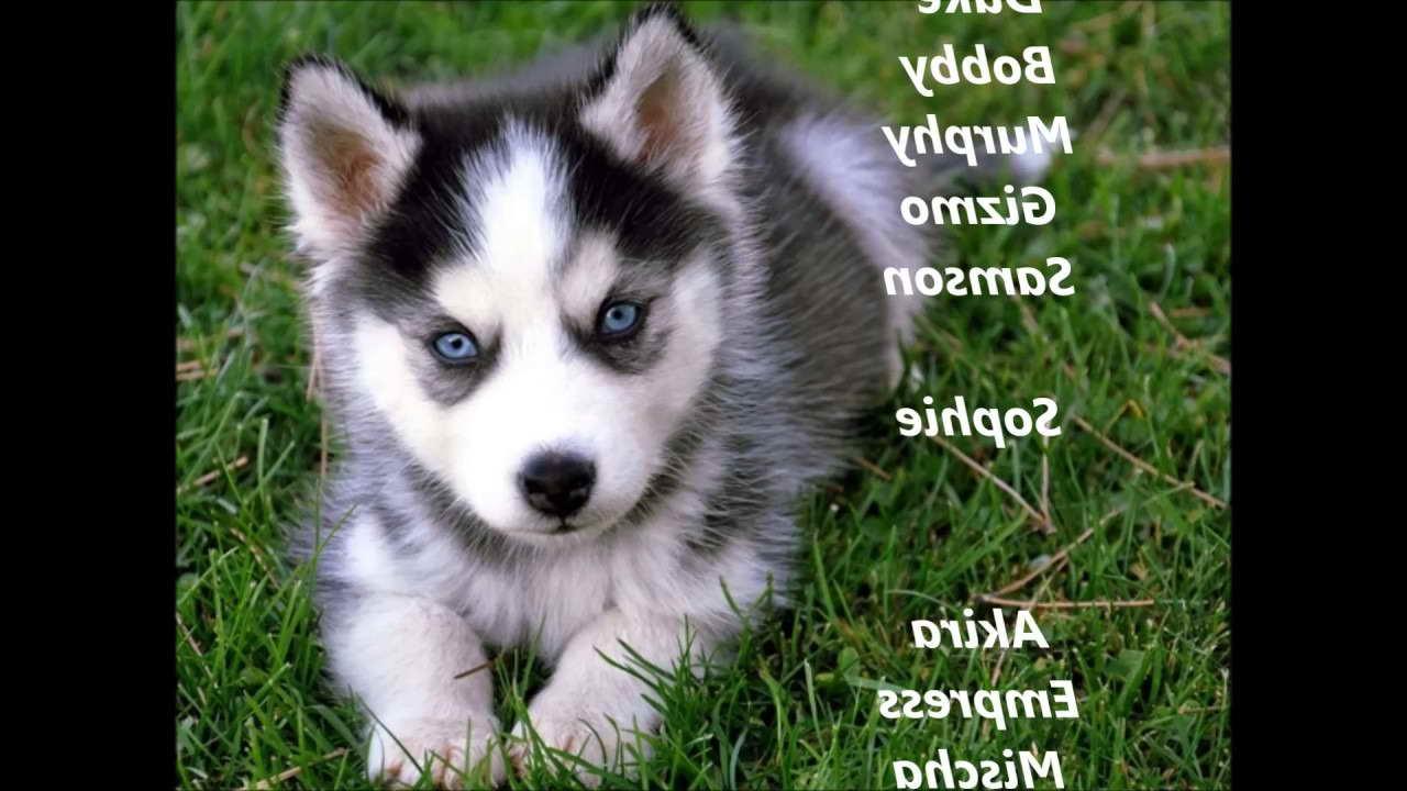 Husky Puppy Names Male Petsidi