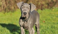 How Much Do Great Dane Puppies Cost