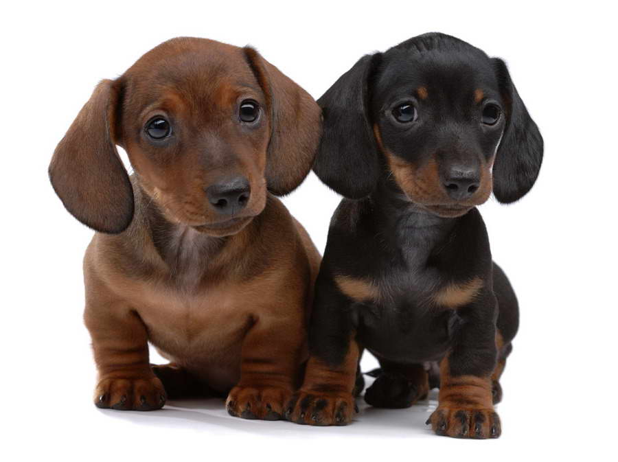 How Much Does A Dachshund Puppy Cost
