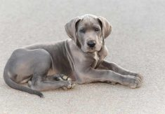 How Much Is A Great Dane Puppy