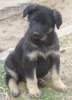 How To Care For A German Shepherd Puppy