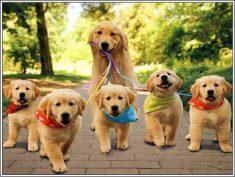 How To Care For A Golden Retriever Puppy