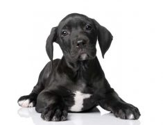 How To Care For A Great Dane Puppy