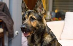 How To Control German Shepherd Shedding