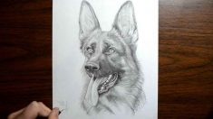 How To Draw A Realistic German Shepherd Step By Step