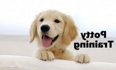 How To Potty Train A Golden Retriever Puppy