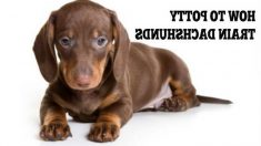 How To Train A Dachshund Puppy