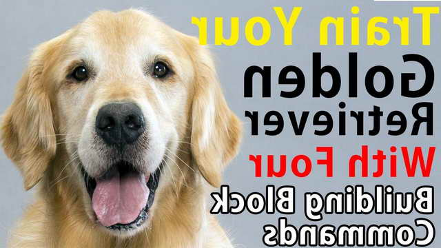 How To Train Golden Retriever Pets And Dogs