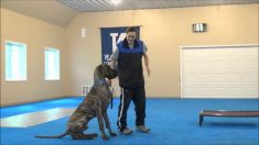 How To Train Great Dane