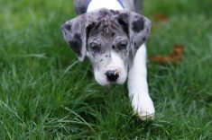 How To Train Your Great Dane