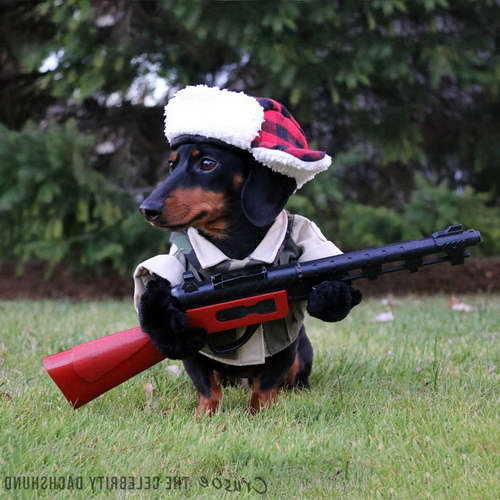 Hunting Dachshund