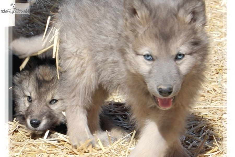 Husky Wolf Hybrid Puppies For Sale | Pets and Dogs