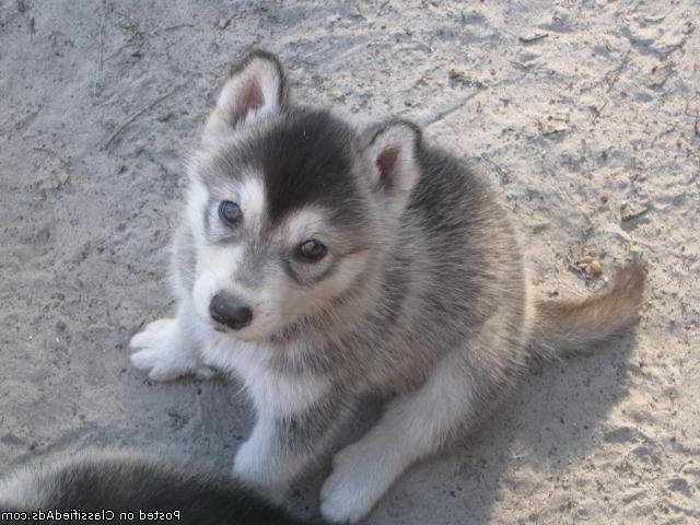 husky puppies for sale in texas husky wolf mix puppies for sale in texas pets and dogs 8087