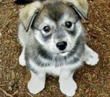 Husky Wolf Mix Puppy