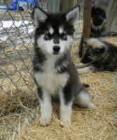 Husky Wolf Puppies