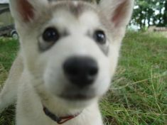 Husky Wolf Puppies For Sale