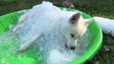 Ice Husky