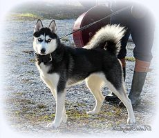Indiana Gsd & Siberian Husky Rescue