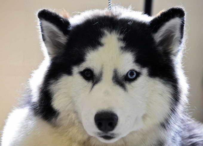 Information On Husky Dogs