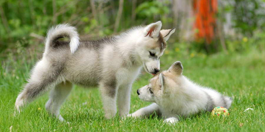 Information On Siberian Husky