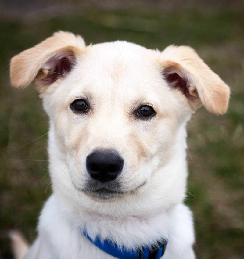 Lab Husky Mix