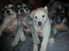Labrador Husky Puppies For Sale