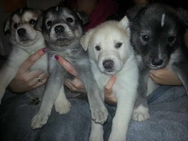 Labrador Husky Puppies For Sale