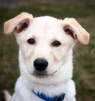 Labrador Husky Puppy